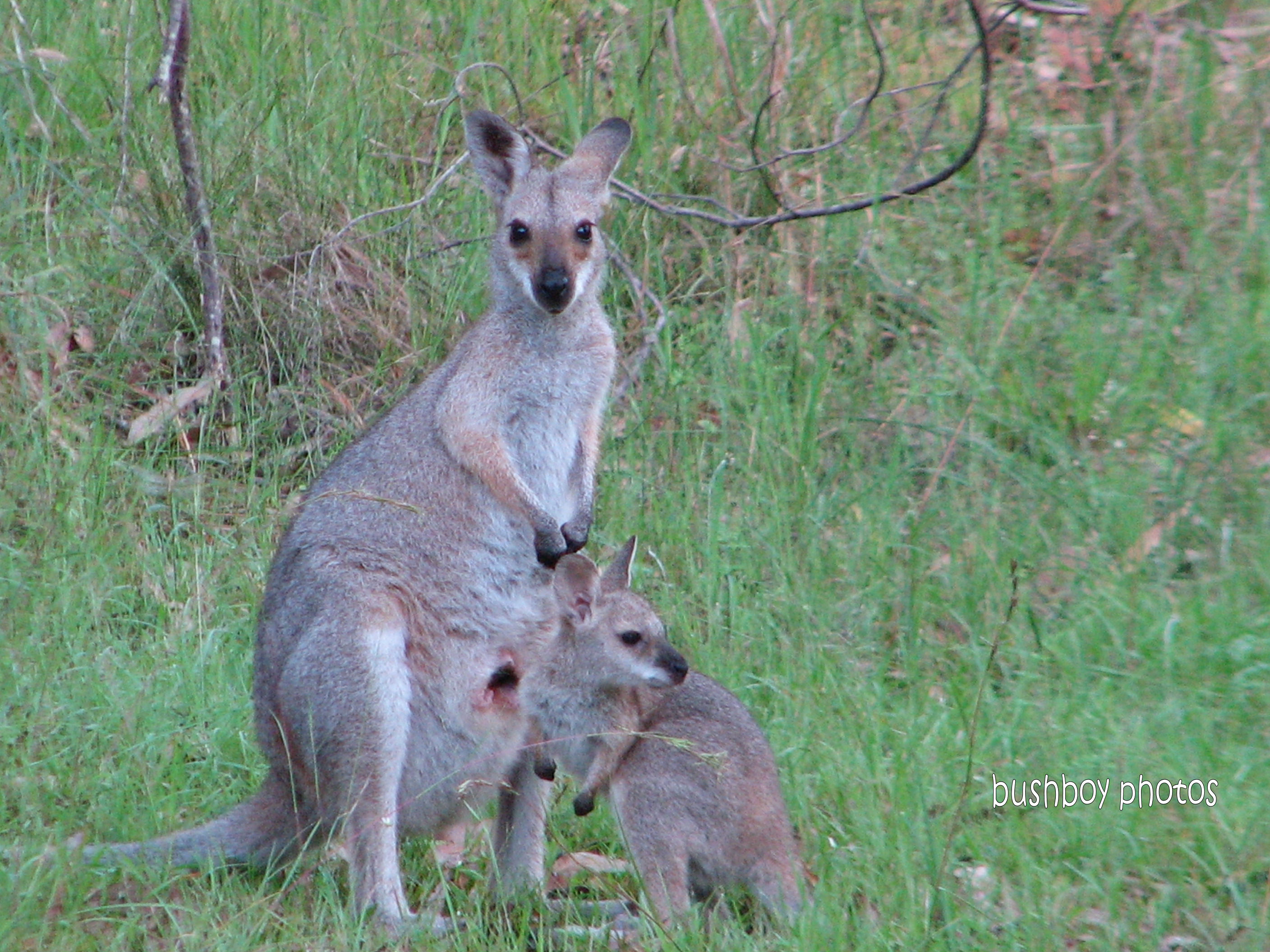 red necked wallaby_joey1_home_feb 2012