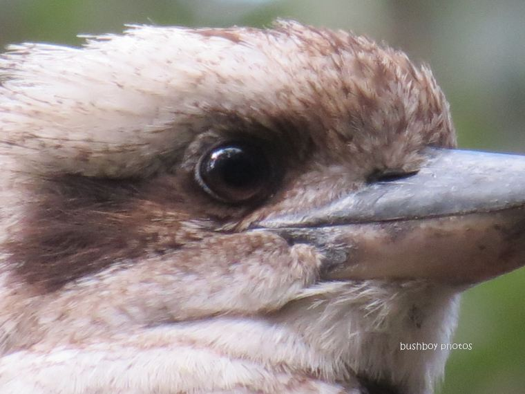 kookaburra17_home_bush_close_11082012