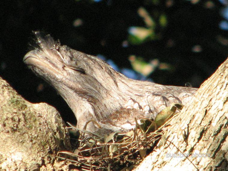 tawny frogmouth1_face_nest_binna burra_102011