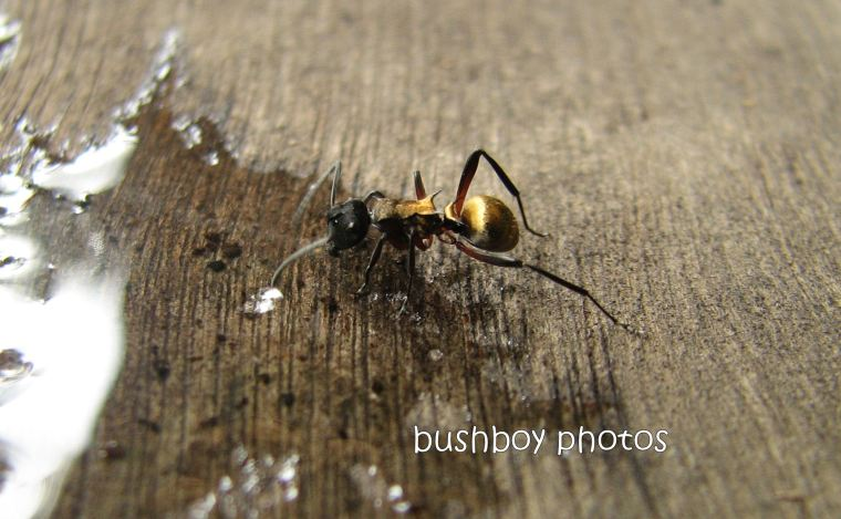 ant4_drinking_home_crop_jan 2012