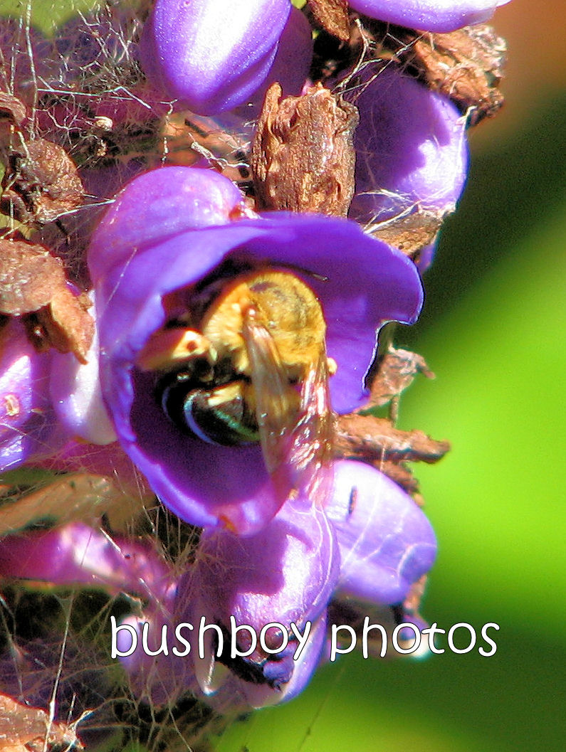 bee blue bum_crop_binna burran feb 2012