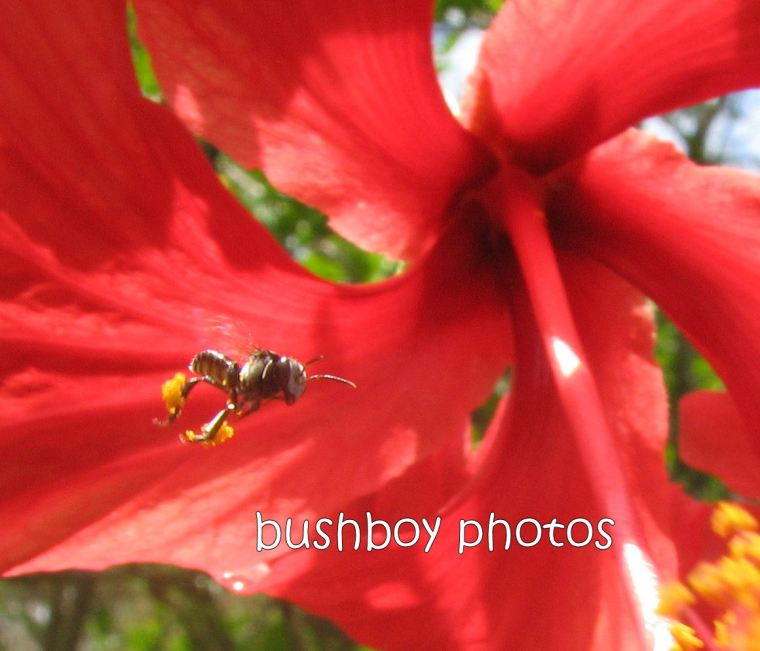 native bee_flying_hybiscus_close_home_jan2012