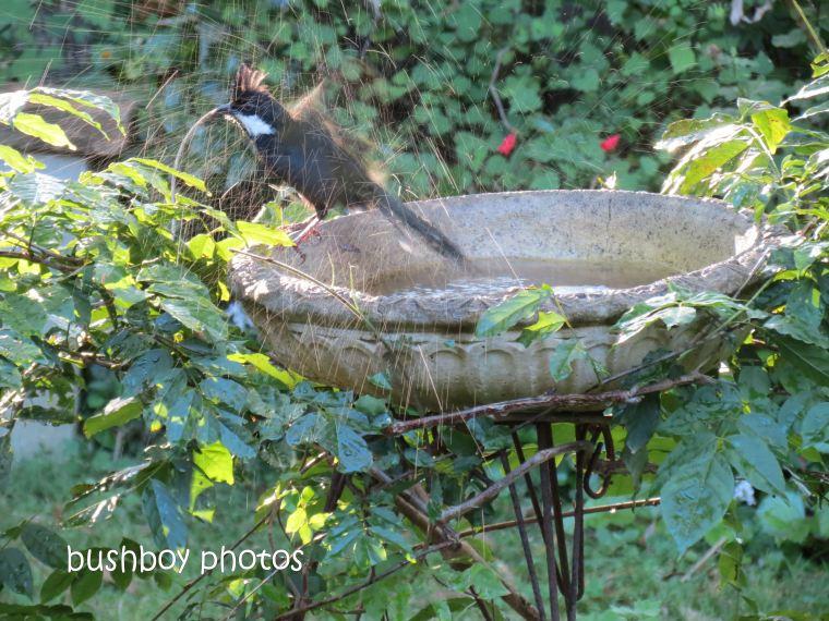 eastern whipbird02_birdbath_binna burra_may 2013