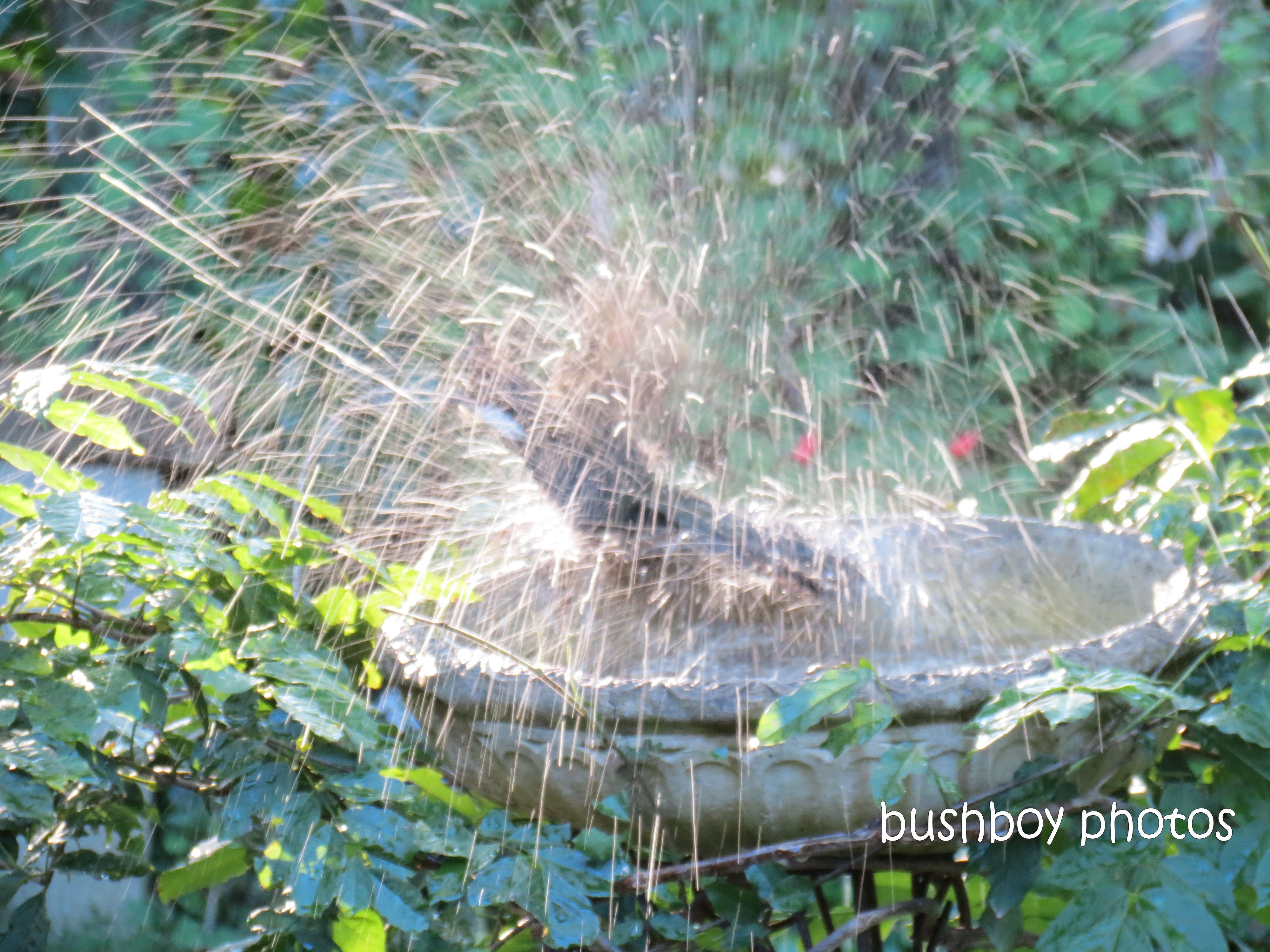eastern whipbird_birdbath_binna burra_may 2013