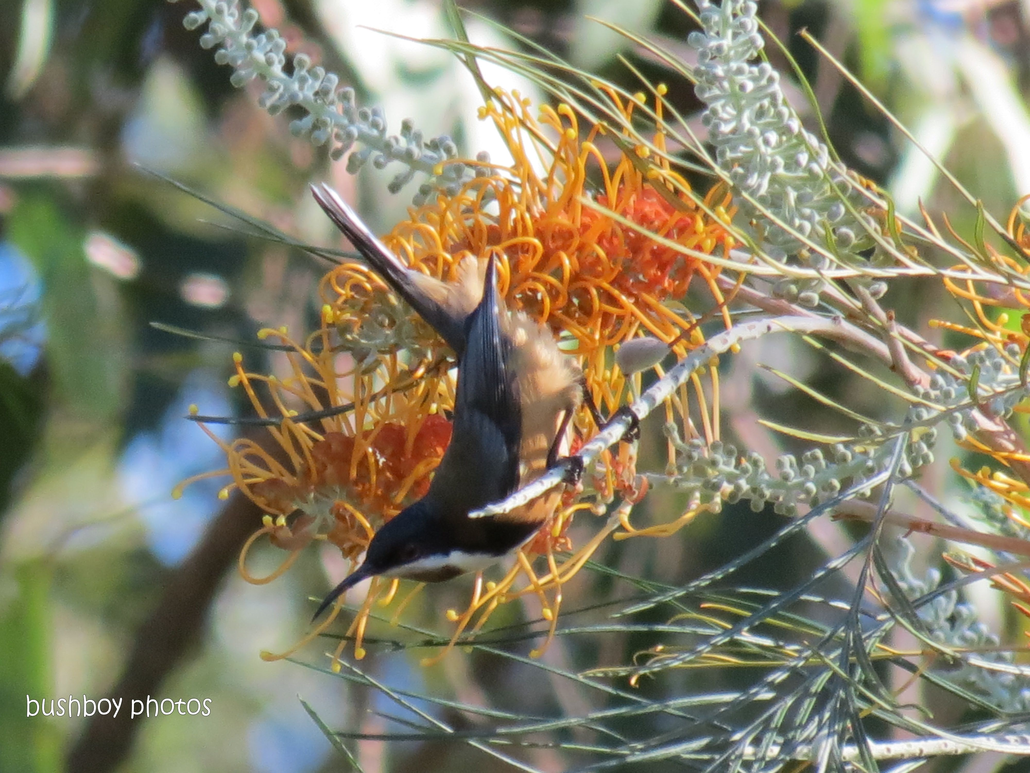 eastern spinebill_home_may 2013