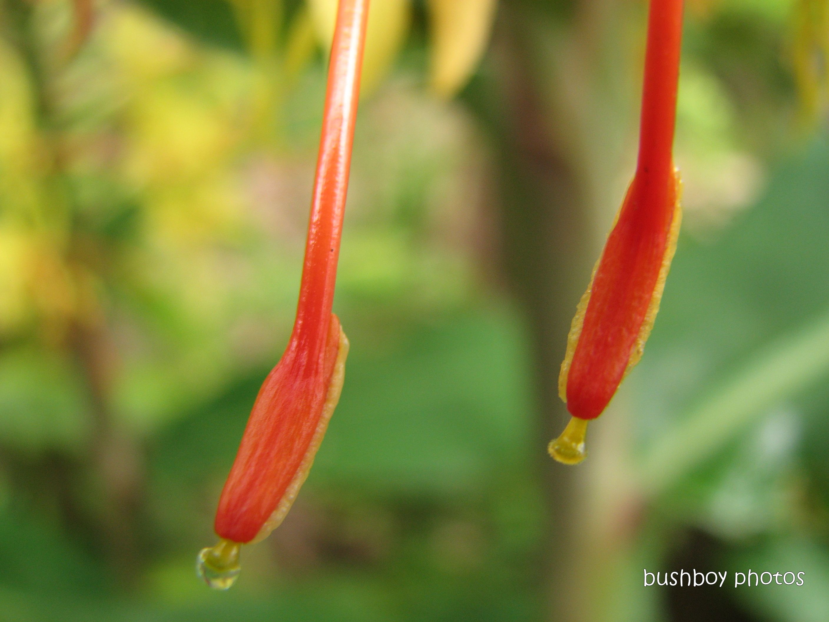 ginger flower10_orange stamen_drop_home_name _feb 2012