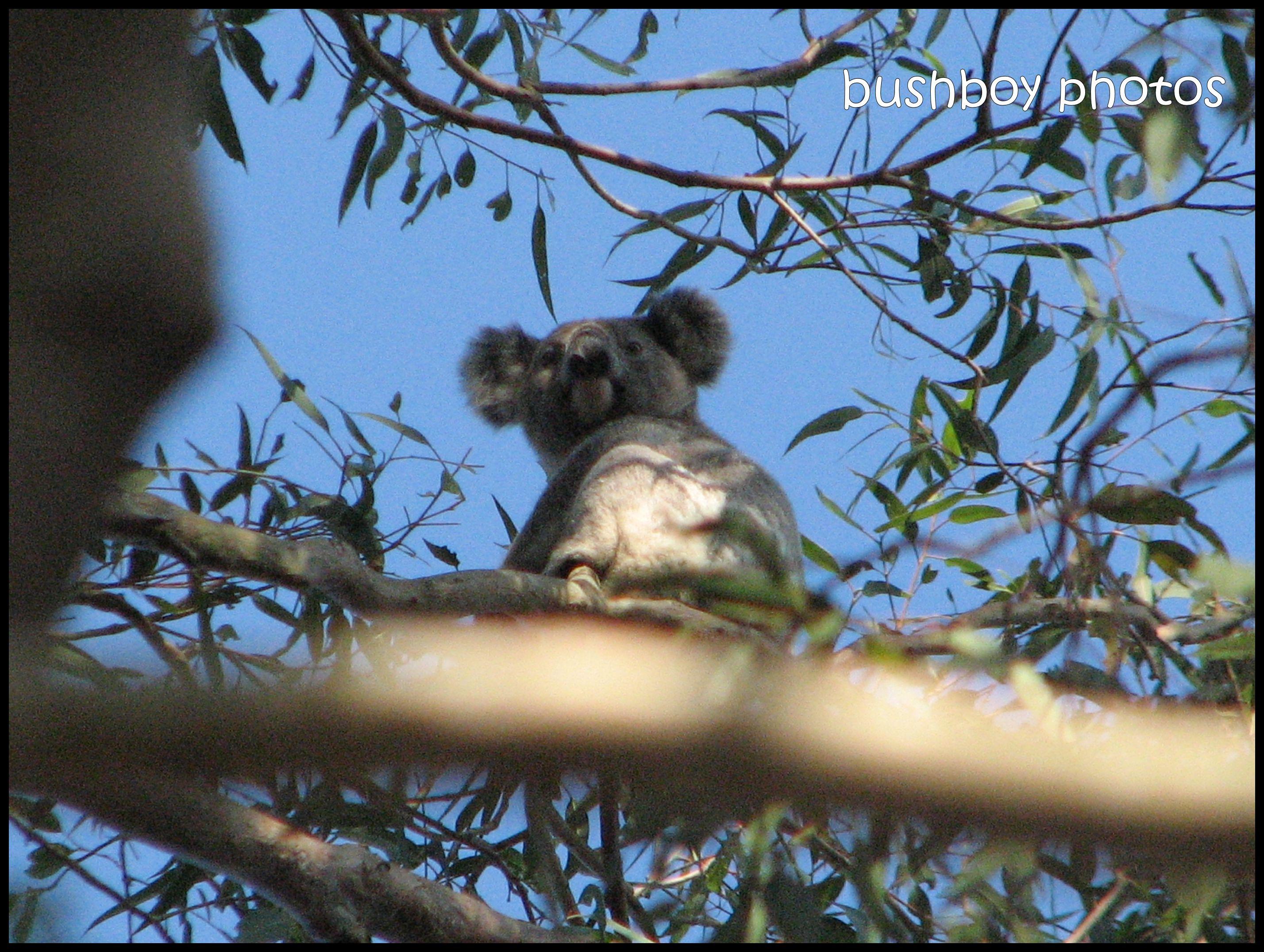 koala1_close_looking_binna burra__with border_nov 2011