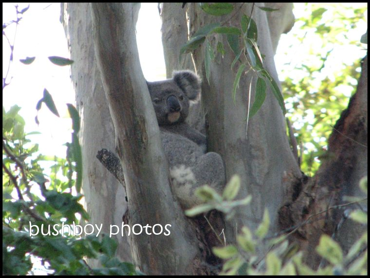 koala2_binna burra_name_with border_nov 2011