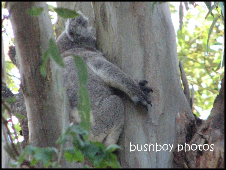 koala3_close_rear_binna burra__with border_nov 2011