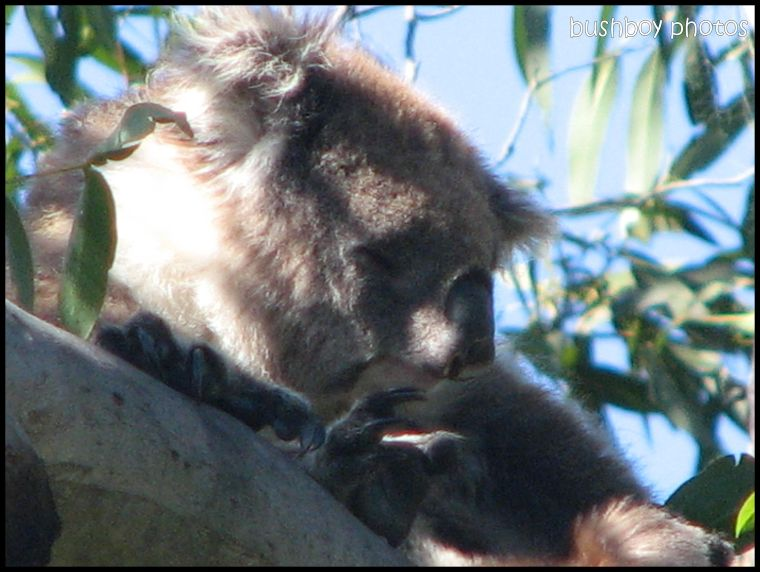 koala_victoria_close_with border_march 2010