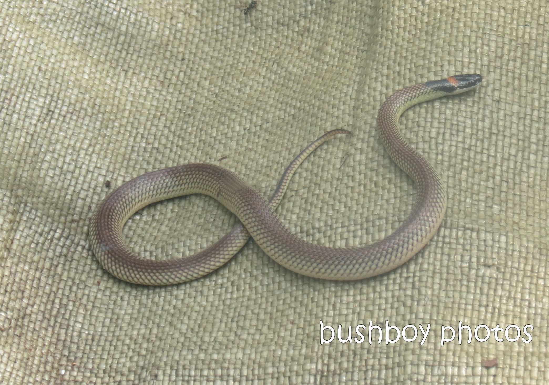red naped snake_crop_home_feb 2013