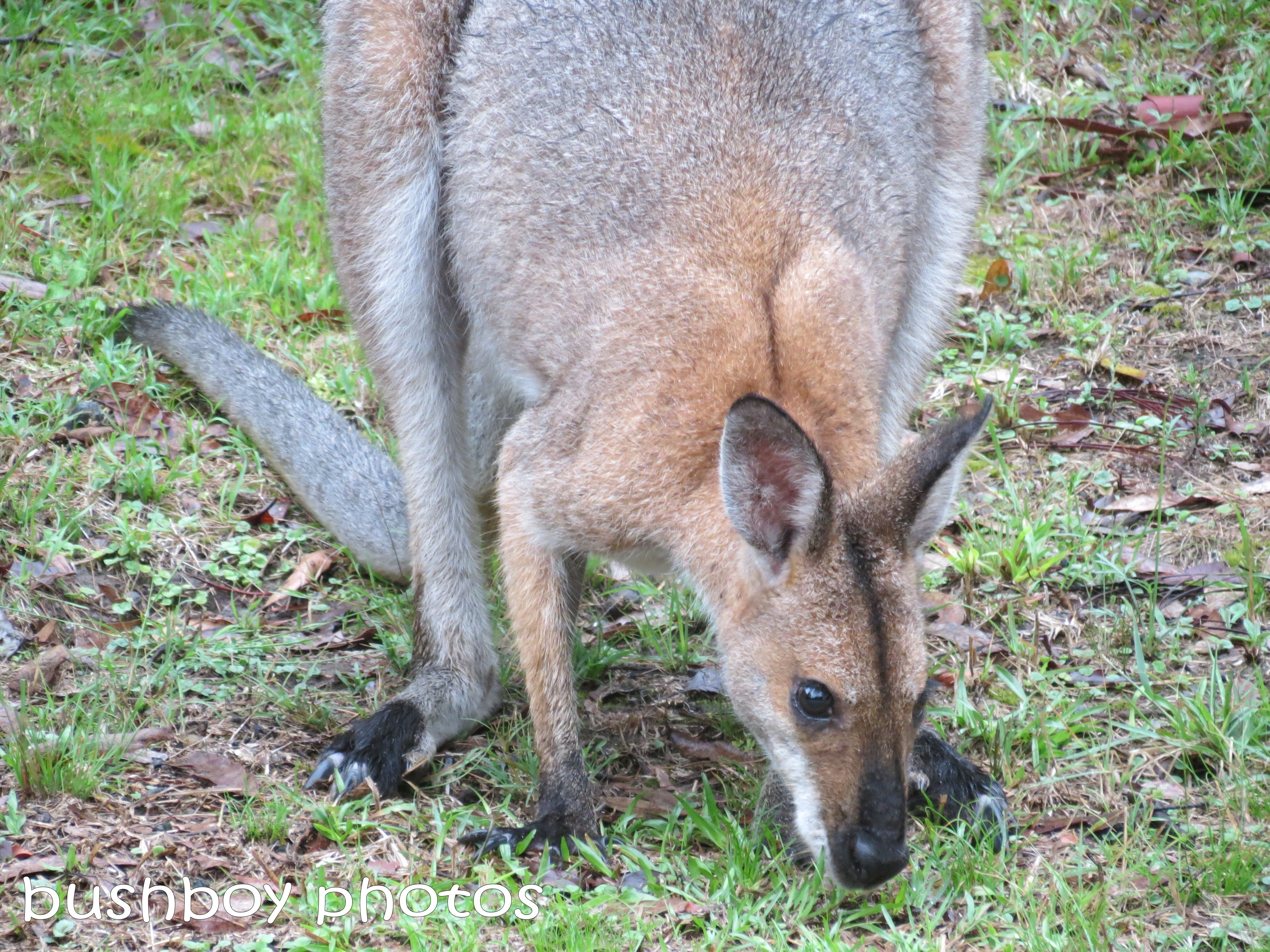 red necked wallaby_male_named_dec 2012