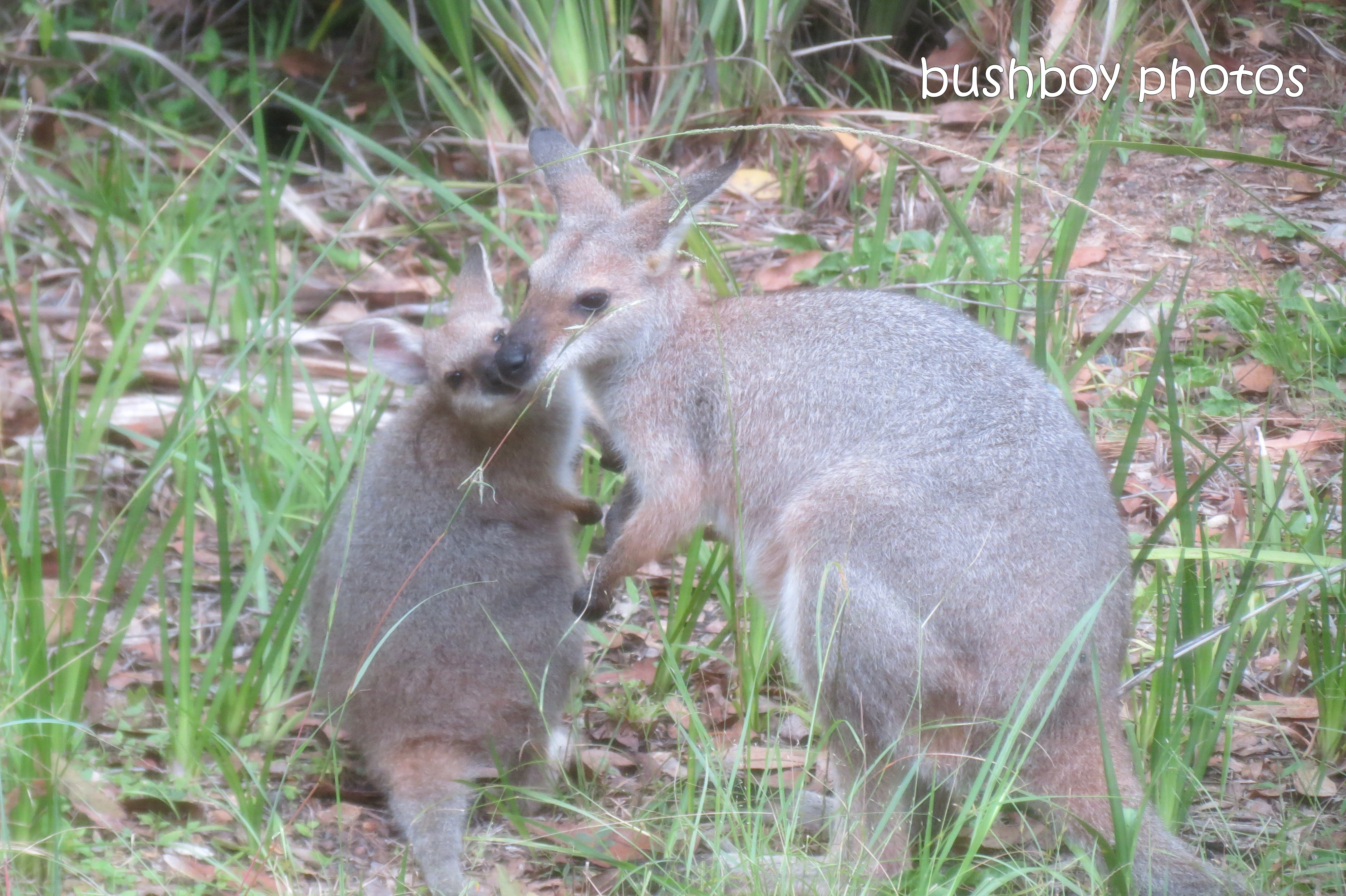 Red necked wallaby_with joey10_kiss_home_march 2012