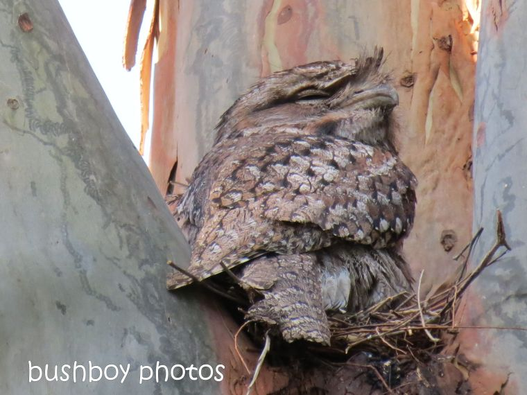 tawny frogmouth_nest_named_oct 2013