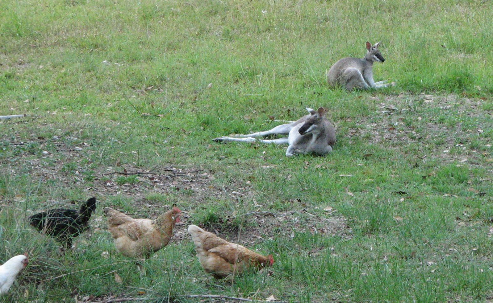 wallabies_relaxing_chooks_home_dec 2006