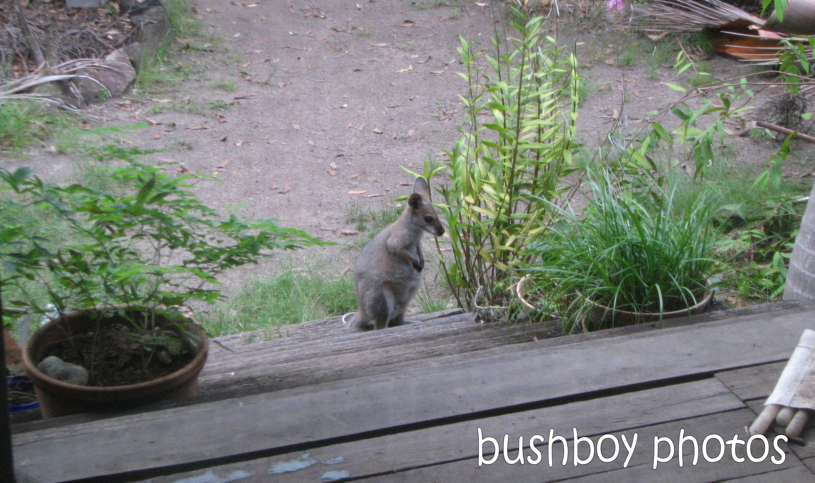wallaby_rear verandah_named_march 2010