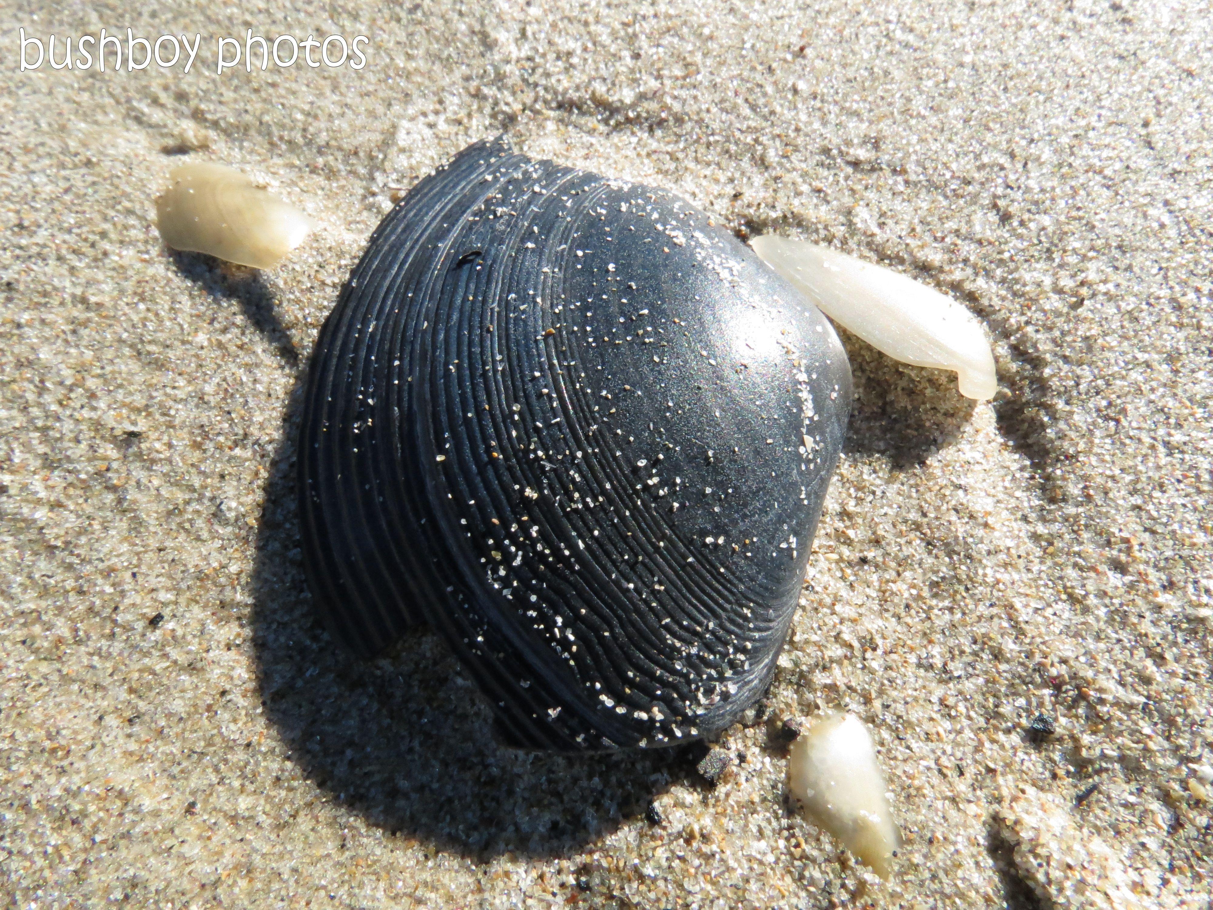 sea shell_close_grey_woody head_named_aug 2012