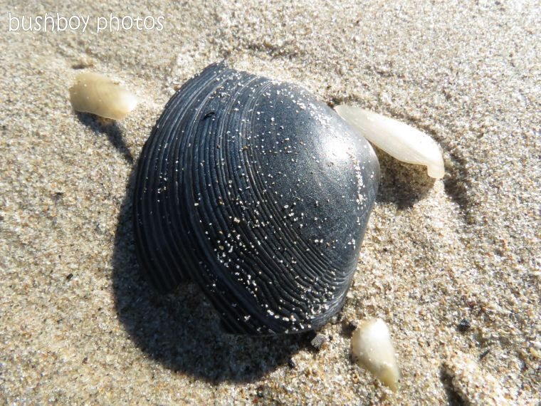 sea shell_close_grey_woody head_named_aug 2012