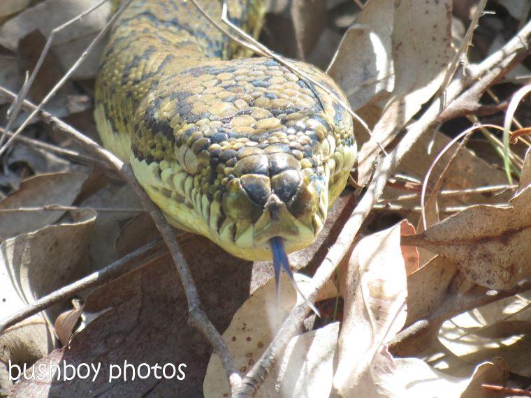 carpet snake01_home_named_jan 2014