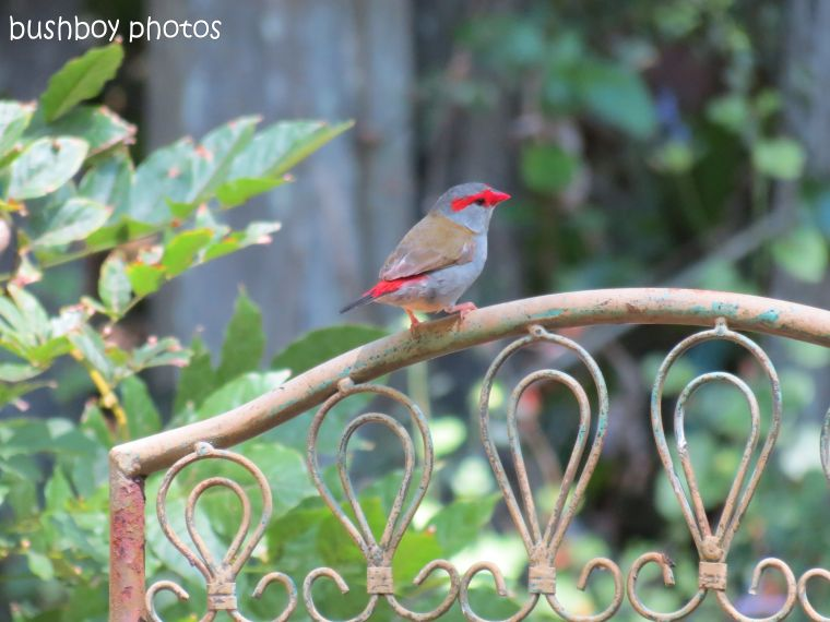 red browed finch02_binna burra_named_dec 2013