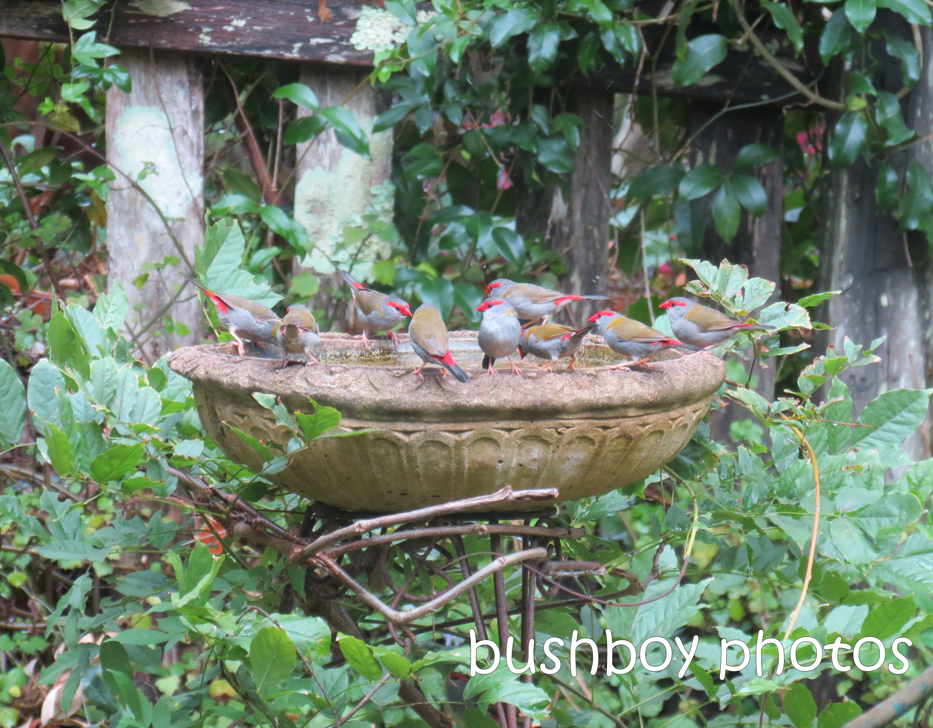 red browed finches_binna burra_named_jan 2014