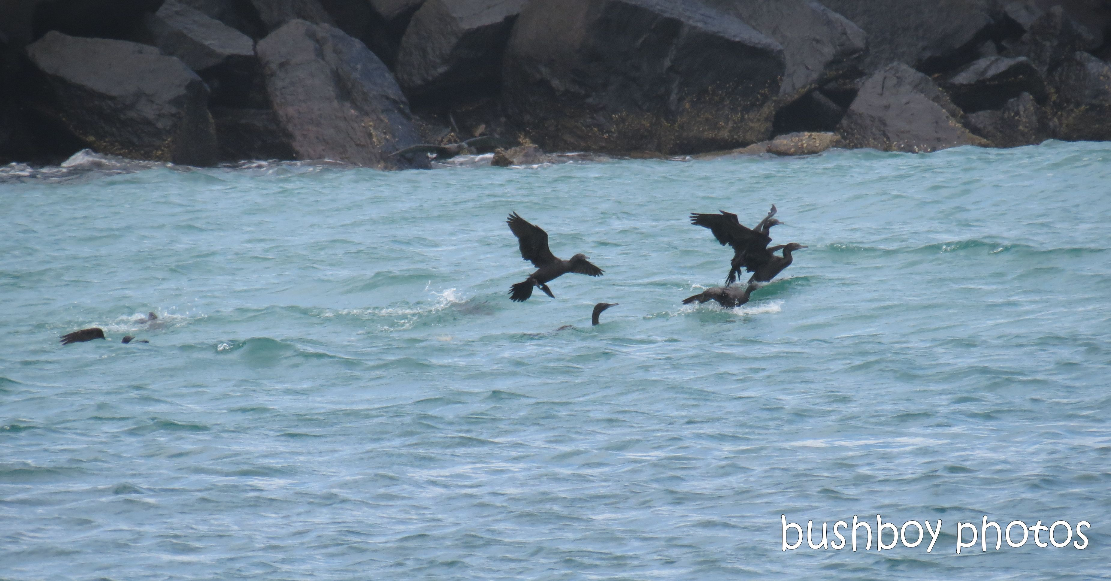 cormorants_flying_brunswick heads_named_feb 2014