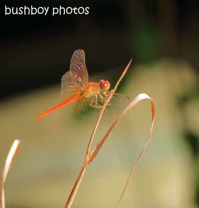 dragonfly red_home_named_feb 2014