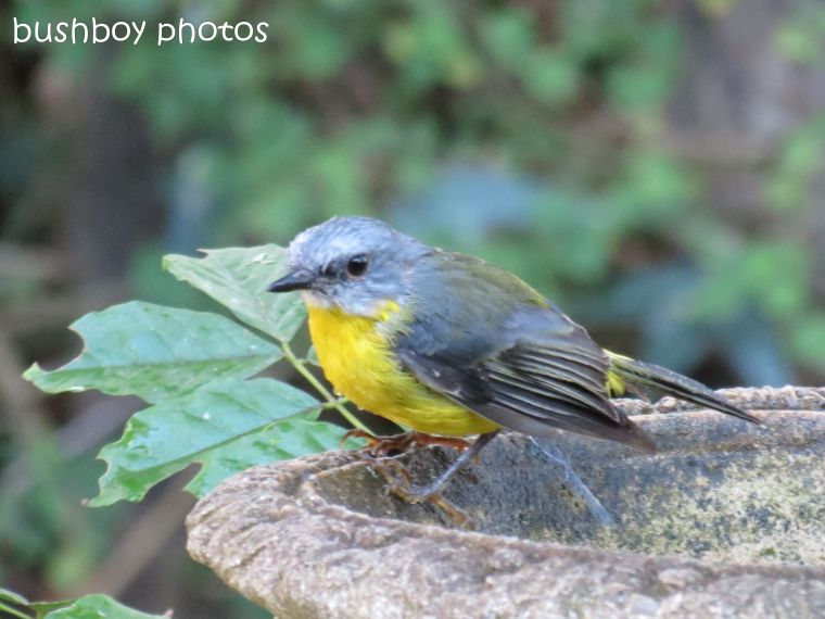 eastern yellow robin03_binna burra_named_feb 2014