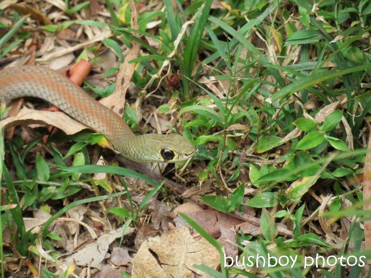 green tree snake02_binna burra_named_feb 2014