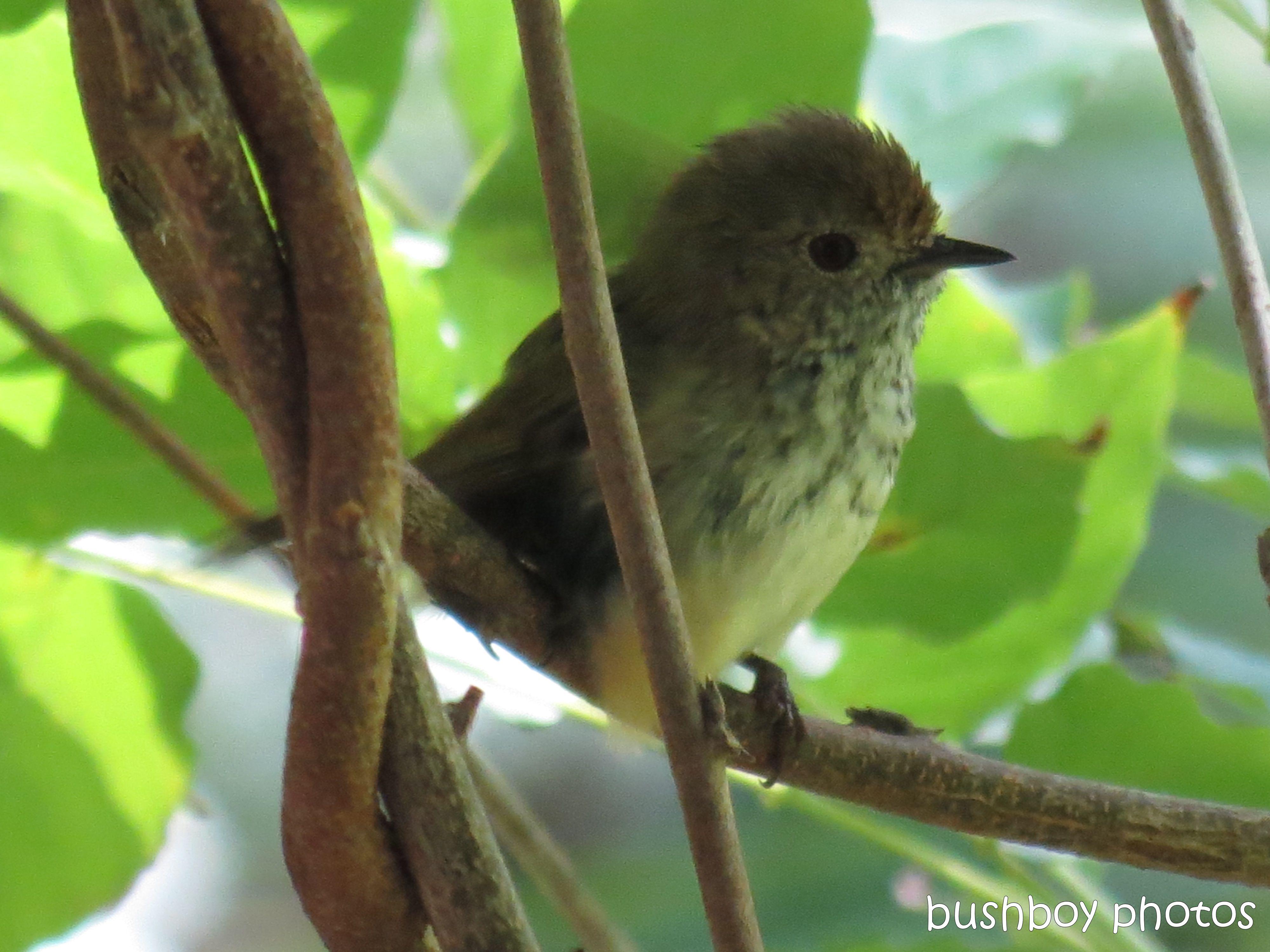 brown thornbill01_binna burra_named_mar 2014