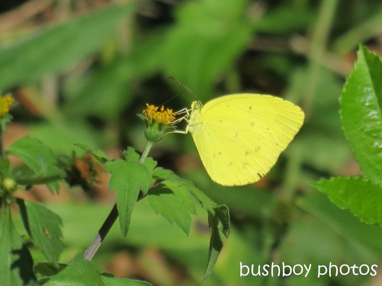 butterfly_yellow meadow_binna burra_named_mar 2014