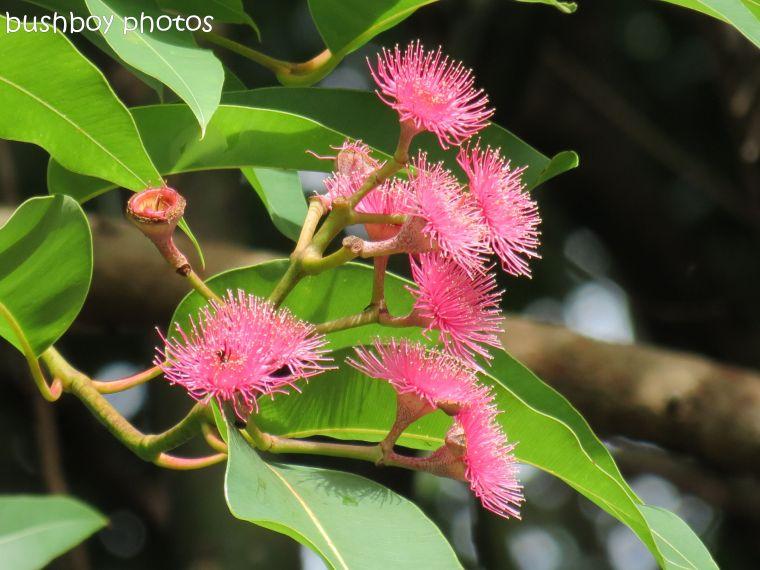 eucalypt flowers_binna burra_named_mar 2014