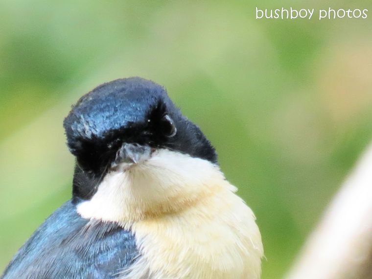 restless flycatcher_face_front_home_named_feb 2014