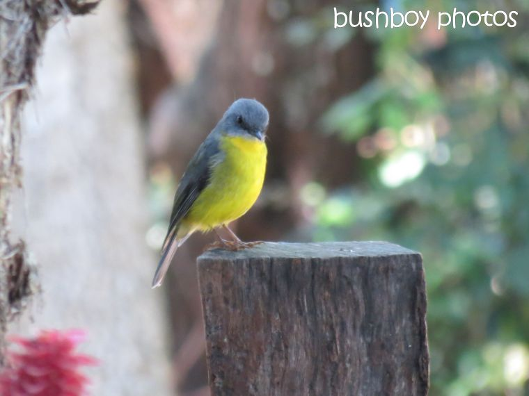 eastern yellow robin01_named_binna burra_april 2014