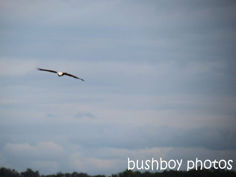 brahminy kite_named_grafton_may 2014