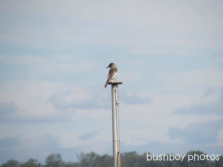 butcher bird_named_grafton_may 2014