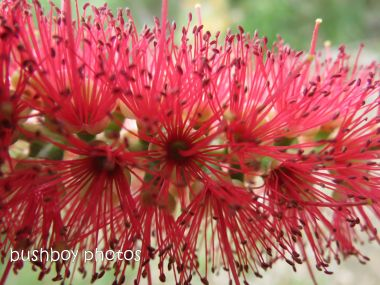 bottlebrush01_close_home_named_june 2014