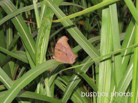 butterfly_binna burra_named_june 2014