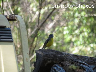 eastern yellow robin_named_home_july 2014