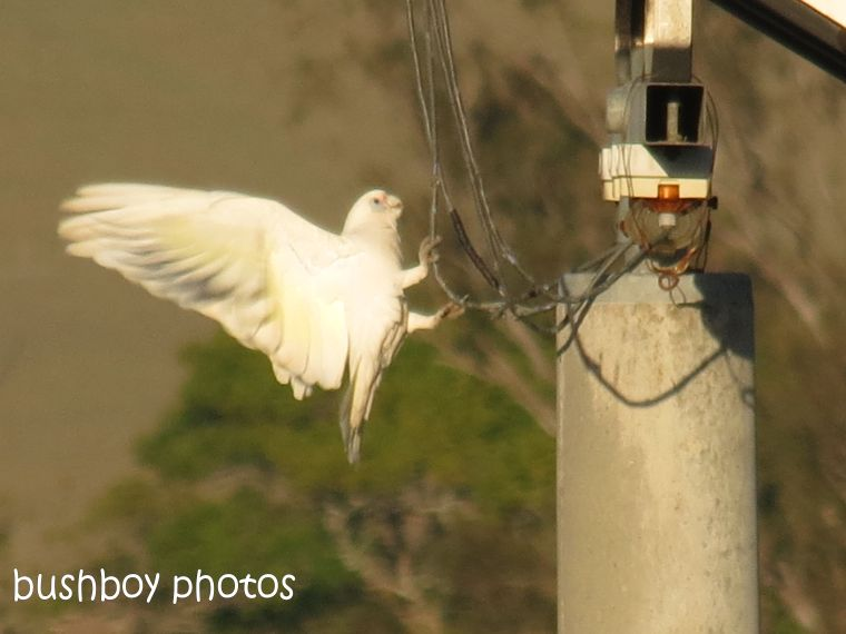 little corella_grafton_named_june 2014