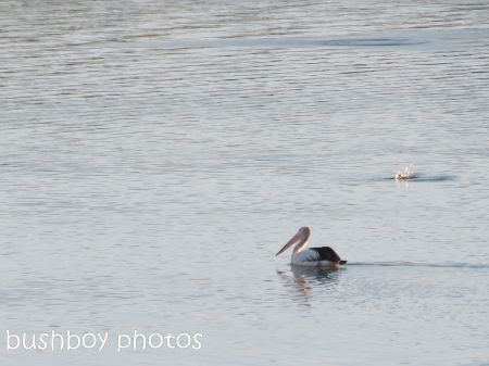 pelican_fishing_grafton_named_june 2014