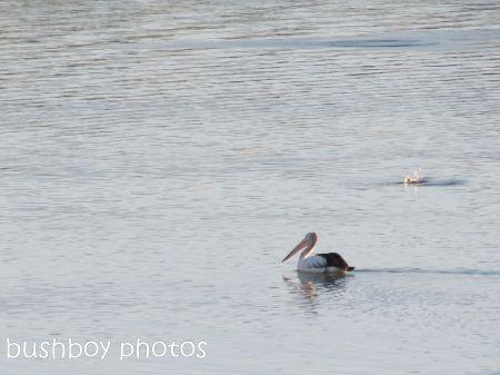 pelican_fishing_grafton_named_june 2014