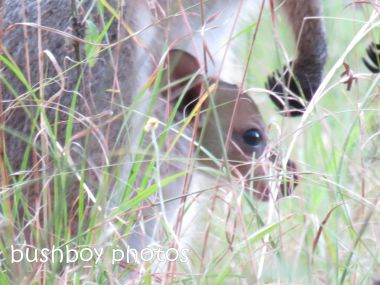 red necked wallaby_joey_close_home_named_june 2014