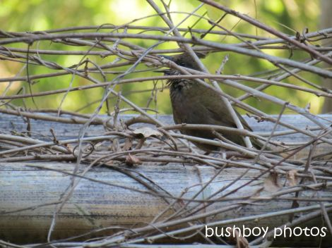 whipbird_female01_calling_on arbour_named_july 2014