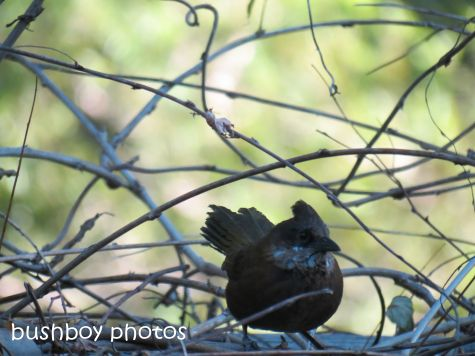 whipbird_female01_on arbour_named_july 2014