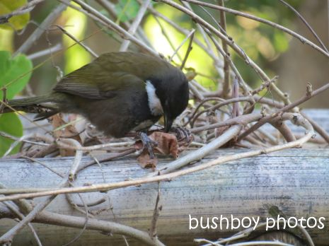 whipbird_looking down_named_july 2014
