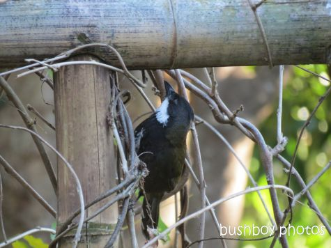 whipbird_looking under arbour01_named_july 2014