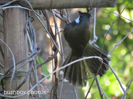 whipbird_looking under arbour02_named_july 2014