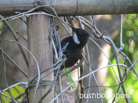 whipbird_looking under arbour03_named_july 2014