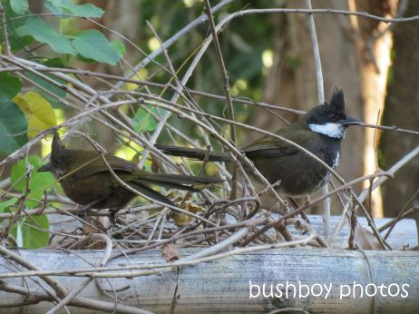 whipbird_male female01_on arbour_named_july 2014